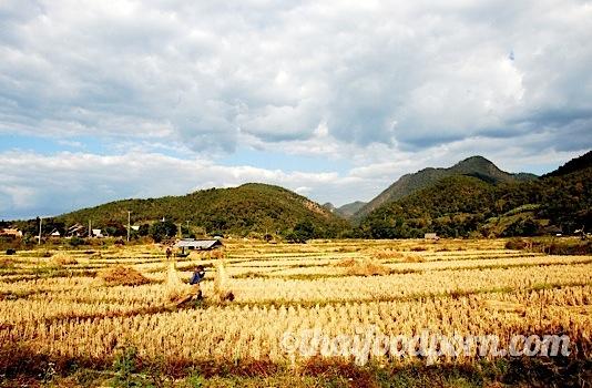 Rice Harvest.jpg